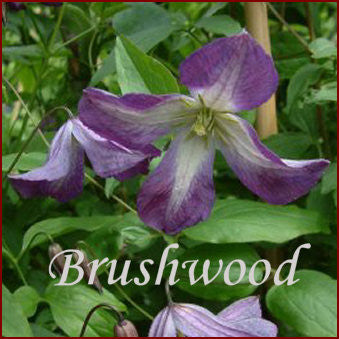 Clematis Elvan, Small Flowered Clematis - Brushwood Nursery, Clematis Specialists