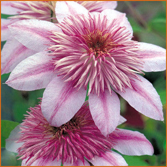 Clematis Empress, Large Flowered Clematis - Brushwood Nursery, Clematis Specialists