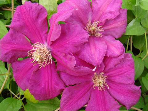 Clematis Ernest Markham, Large Flowered Clematis - Brushwood Nursery, Clematis Specialists