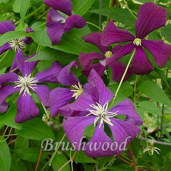 Clematis Etoile Violette, Small Flowered Clematis - Brushwood Nursery, Clematis Specialists