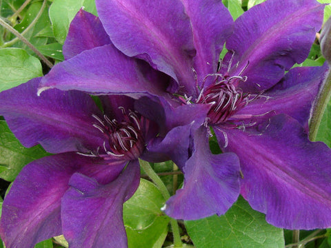 Clematis Fleuri, Large Flowered Clematis - Brushwood Nursery, Clematis Specialists