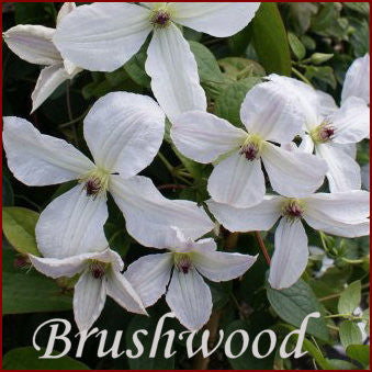 Clematis Forever Friends, Small Flowered Clematis - Brushwood Nursery, Clematis Specialists