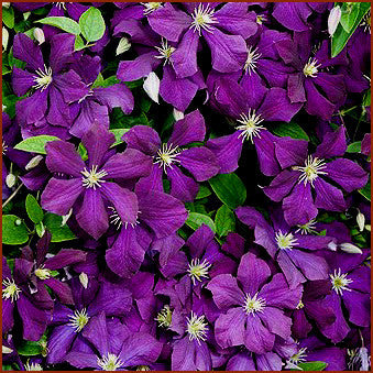 Clematis Galore, Small Flowered Clematis - Brushwood Nursery, Clematis Specialists