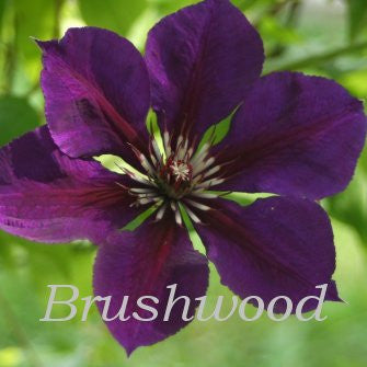 Clematis Gipsy Queen, Large Flowered Clematis - Brushwood Nursery, Clematis Specialists