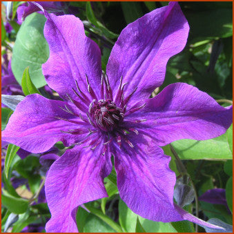 Clematis Guiding Promise, Large Flowered Clematis - Brushwood Nursery, Clematis Specialists