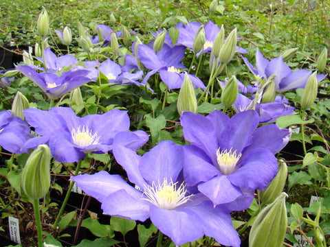 Clematis H F Young, Large Flowered Clematis - Brushwood Nursery, Clematis Specialists