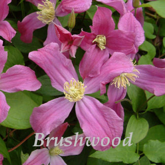 Clematis Inspiration, Non-Vining Clematis - Brushwood Nursery, Clematis Specialists