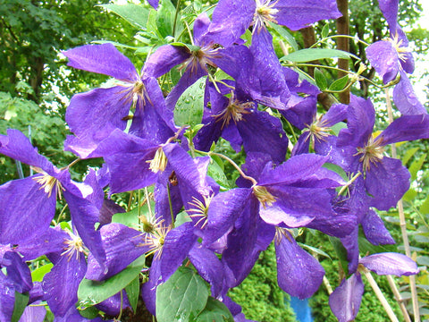 Clematis Jackmanii Superba, Large Flowered Clematis - Brushwood Nursery, Clematis Specialists