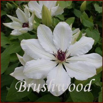 Clematis James Mason, Large Flowered Clematis - Brushwood Nursery, Clematis Specialists