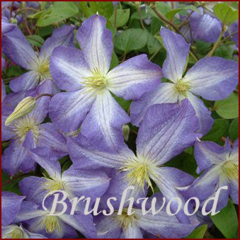 Clematis Jenny, Large Flowered Clematis - Brushwood Nursery, Clematis Specialists