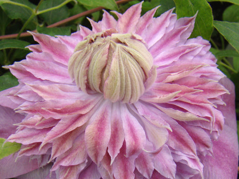 Clematis Josephine, Large Flowered Clematis - Brushwood Nursery, Clematis Specialists