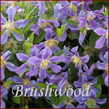 Clematis Juuli, Small Flowered Clematis - Brushwood Nursery, Clematis Specialists