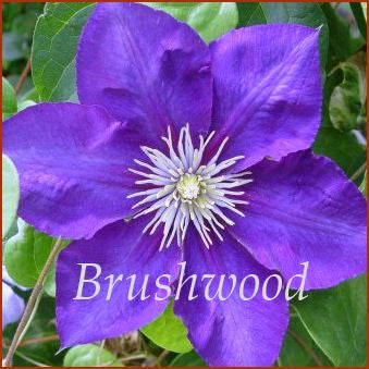 Clematis Kasugai, Large Flowered Clematis - Brushwood Nursery, Clematis Specialists