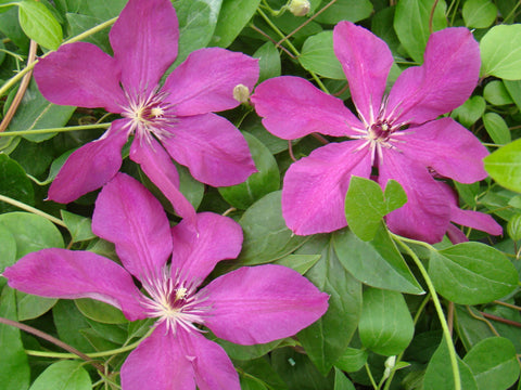 Clematis Kommerei, Large Flowered Clematis - Brushwood Nursery, Clematis Specialists