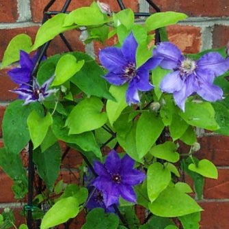 Clematis Climador, Large Flowered Clematis - Brushwood Nursery, Clematis Specialists