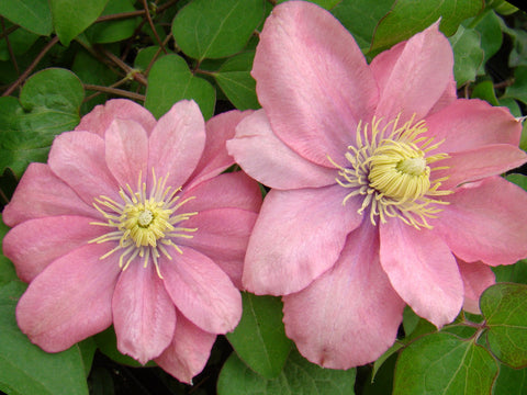 Clematis Little Mermaid, Large Flowered Clematis - Brushwood Nursery, Clematis Specialists