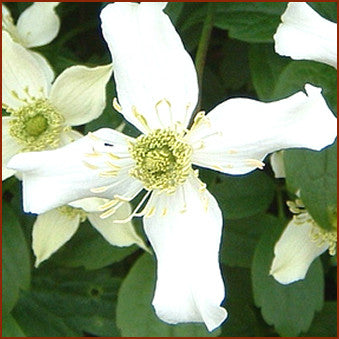 Clematis montana Wilsonii, Small Flowered Clematis - Brushwood Nursery, Clematis Specialists