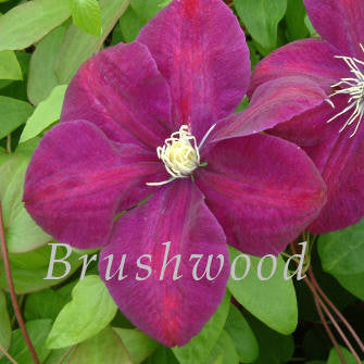 Clematis Monte Cassino, Large Flowered Clematis - Brushwood Nursery, Clematis Specialists