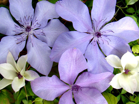 Clematis Moonfleet, Large Flowered Clematis - Brushwood Nursery, Clematis Specialists