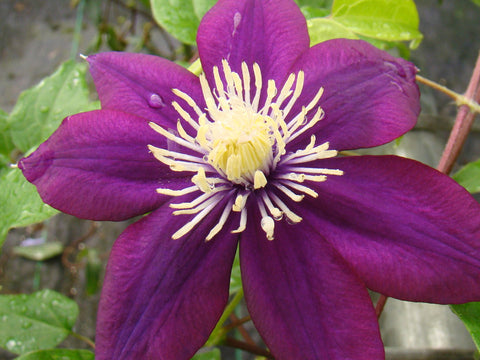 Clematis Mrs Yuki, Large Flowered Clematis - Brushwood Nursery, Clematis Specialists