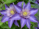 Clematis Multi Blue, Large Flowered Clematis - Brushwood Nursery, Clematis Specialists