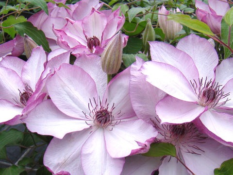 Clematis Omoshiro, Large Flowered Clematis - Brushwood Nursery, Clematis Specialists