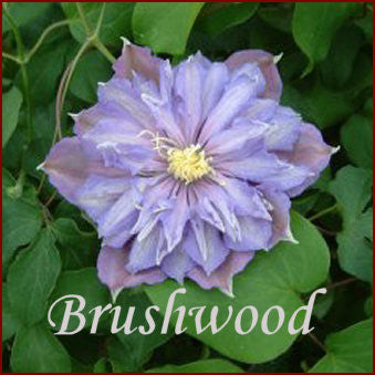 Clematis Paola, Large Flowered Clematis - Brushwood Nursery, Clematis Specialists
