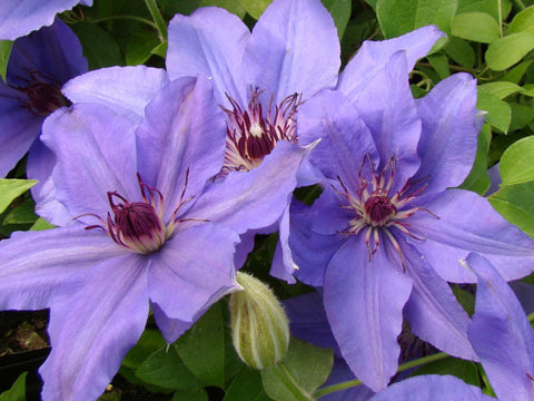 Clematis Parisienne, Large Flowered Clematis - Brushwood Nursery, Clematis Specialists