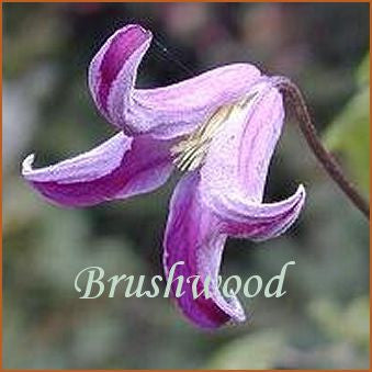 Clematis Pendragon, Small Flowered Clematis - Brushwood Nursery, Clematis Specialists