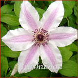 Clematis Pinky, Large Flowered Clematis - Brushwood Nursery, Clematis Specialists