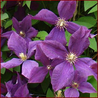 Clematis Polish Spirit, Small Flowered Clematis - Brushwood Nursery, Clematis Specialists