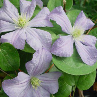 Clematis Prince Charles, Large Flowered Clematis - Brushwood Nursery, Clematis Specialists