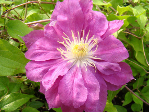 Clematis Red Star, Large Flowered Clematis - Brushwood Nursery, Clematis Specialists