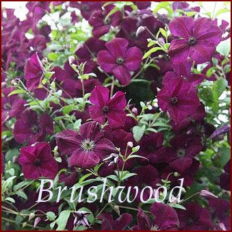 Clematis Royal Velours, Small Flowered Clematis - Brushwood Nursery, Clematis Specialists