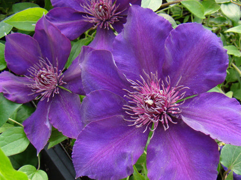 Clematis Sano No Murasaki, Large Flowered Clematis - Brushwood Nursery, Clematis Specialists