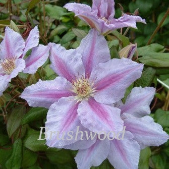 Clematis Sealand Gem, Large Flowered Clematis - Brushwood Nursery, Clematis Specialists