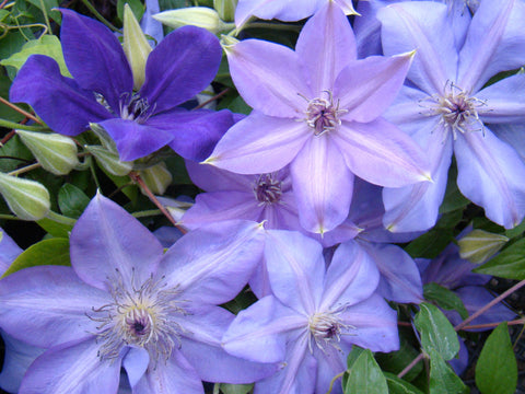 Clematis Shimmer, Large Flowered Clematis - Brushwood Nursery, Clematis Specialists