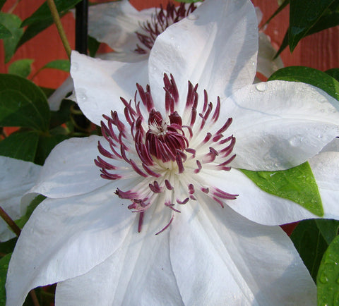 Clematis Starfish, Large Flowered Clematis - Brushwood Nursery, Clematis Specialists