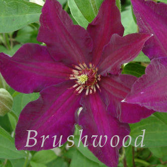 Clematis Stasik, Large Flowered Clematis - Brushwood Nursery, Clematis Specialists