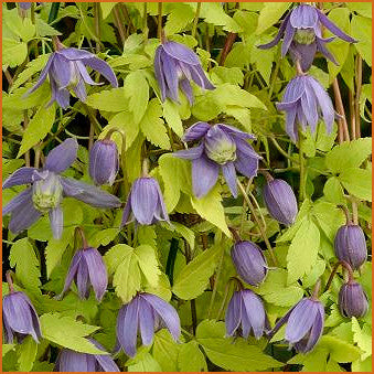 Clematis Stolwijk Gold, Small Flowered Clematis - Brushwood Nursery, Clematis Specialists
