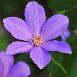 Clematis Sugar-Sweet Lilac, Small Flowered Clematis - Brushwood Nursery, Clematis Specialists