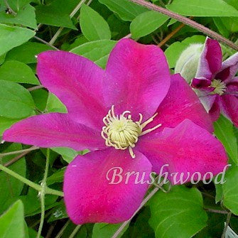 Clematis Sunset, Large Flowered Clematis - Brushwood Nursery, Clematis Specialists