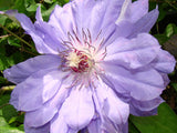 Clematis Teshio, Large Flowered Clematis - Brushwood Nursery, Clematis Specialists
