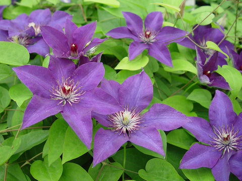 Clematis The President, Large Flowered Clematis - Brushwood Nursery, Clematis Specialists