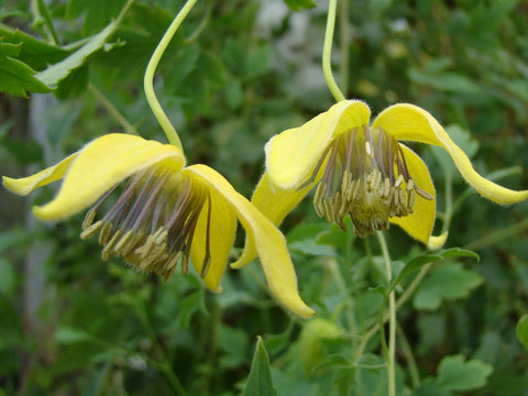 Clematis tibetana, Small Flowered Clematis - Brushwood Nursery, Clematis Specialists