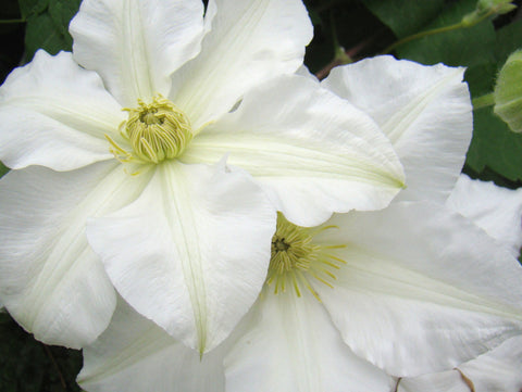 Clematis Toki, Large Flowered Clematis - Brushwood Nursery, Clematis Specialists