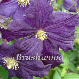 Clematis Trikatrei, Small Flowered Clematis - Brushwood Nursery, Clematis Specialists