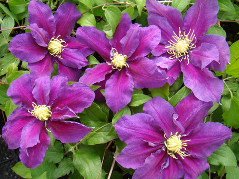 Clematis Varenne, Large Flowered Clematis - Brushwood Nursery, Clematis Specialists