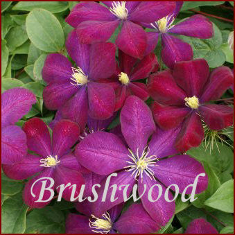 Clematis Voluceau, Large Flowered Clematis - Brushwood Nursery, Clematis Specialists