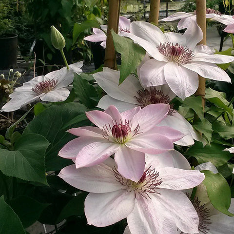Clematis Dawn, Large Flowered Clematis - Brushwood Nursery, Clematis Specialists